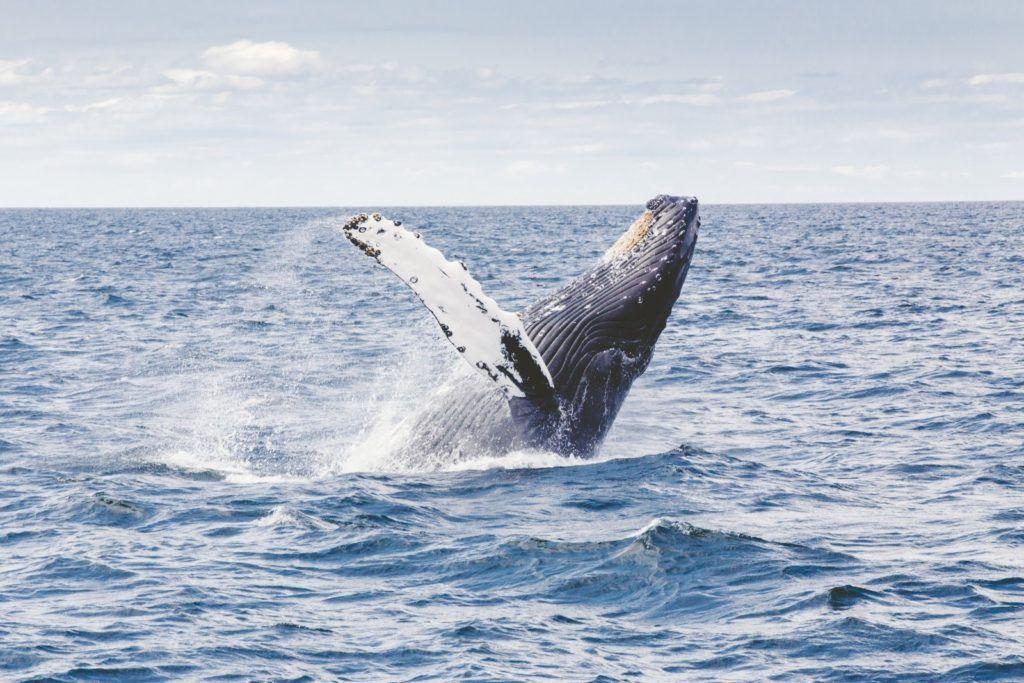 baleine-hermanus-afrique-du-sud