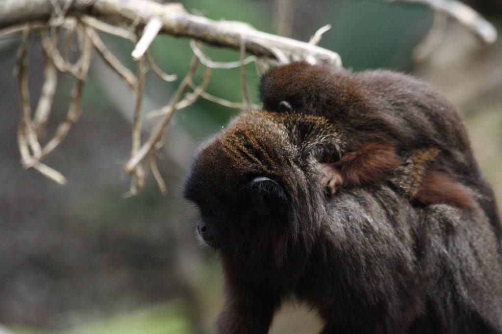 singe-zoo-londres