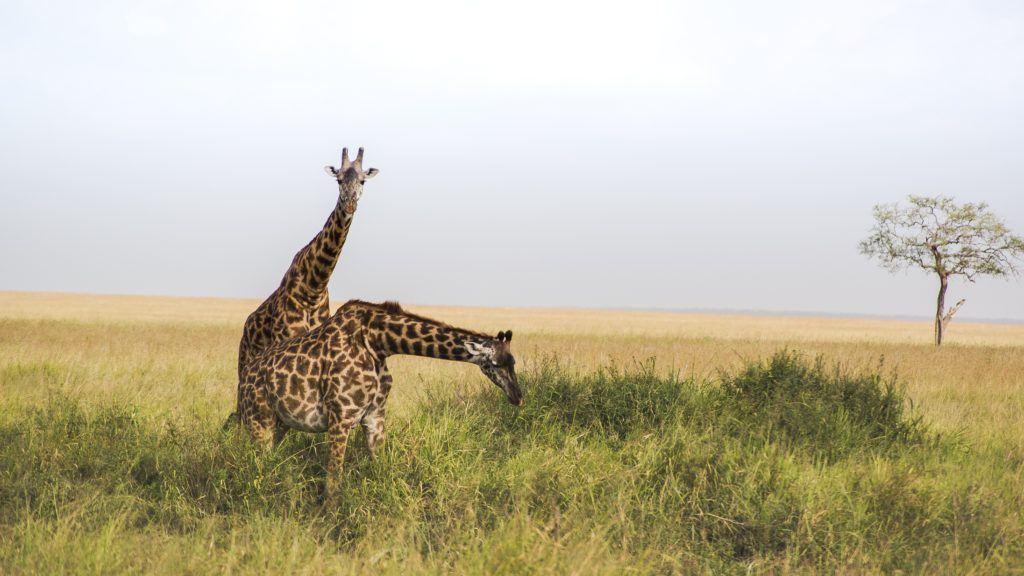 girafe-tazanie-safari