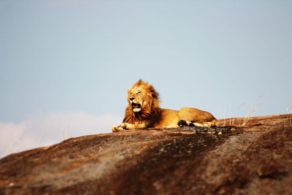 lion-tanzanie-safari