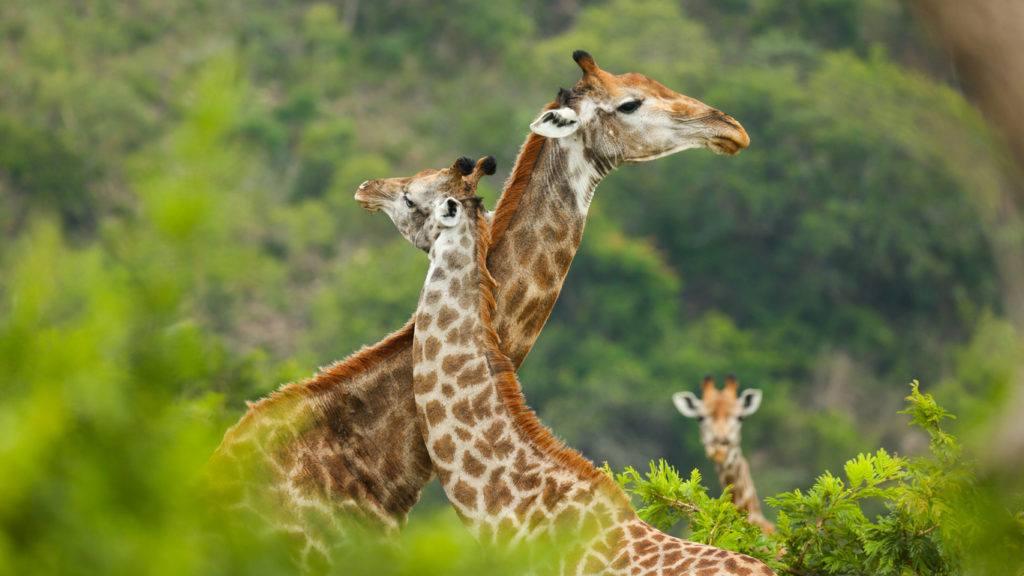 Girafes safari Afrique du Sud