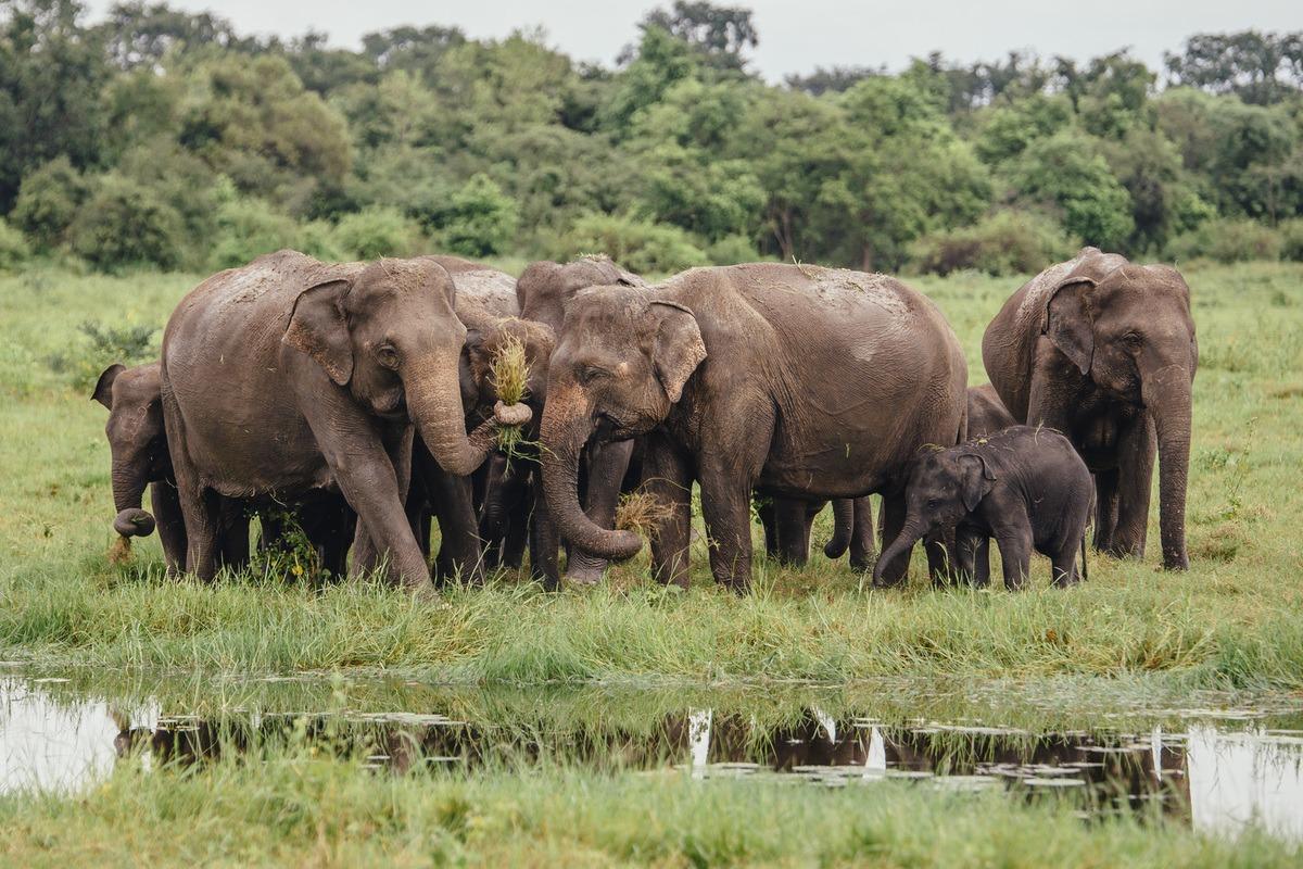 Safari, Sri Lanka, éléphants